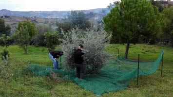olijfboompjes2