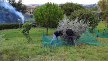 olijfboompjes3