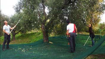 olijfboompjes6